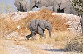 Elephant Calf Running