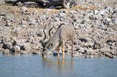 Kudu Bull Drinking Water