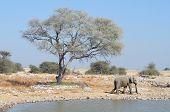 Elephant At Okaukeujo