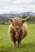 The famous Scotish Cattle