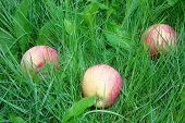 autumn apples fallen in the grass covered with dew