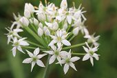 Chinese Chive flowers