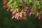 Pink Winged Maple Seed Pods - Acer circinatum