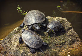 picture of terrapin turtle  - The European pond turtle  - JPG