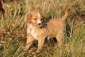 Amazing Puppy Of Nova Scotia In Nature