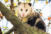 Opossum on tree branch