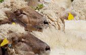 Sheep In The Herd