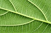picture of transpiration  - the detail of green leaf texture background - JPG