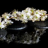 Spa Background Of Zen Stones, Blooming Twig Of Plum With Reflection On Water, Closeup