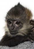Close-up of a baby Francois Langur (4 months)