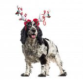English Cocker Spaniel (12 years old) wearing a reindeer headband