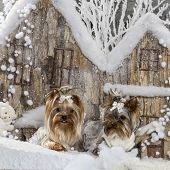 Yorkshire terriers in front of a Christmas scenery