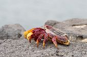 image of crustations  - Red Sally Lightfoot crabs on a rock - JPG