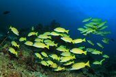 image of red snapper  - School yellow snappers fish and coral reef underwater - JPG