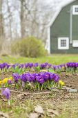 Crocus growing in a rural garden with a barn in the background