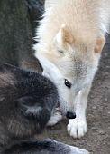 Постер, плакат: Волк бой