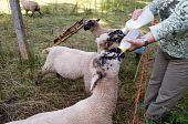 stock photo of shepherdess  - Woman feeds the lambs with milk from a bottle - JPG