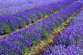 foto of lavender field  - Lavander fields in Heacham in Great Britain - JPG
