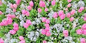 tulip flower field details in spring time
