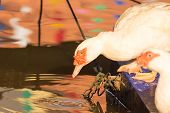 white Muscovy Duck drinking water