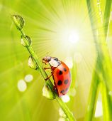 Fresh dewy grass and little ladybug, natural background.