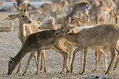 A Young Whitetail Buck Is With A Group Of Does.
