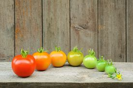 pic of food plant  - Evolution of red tomato  - JPG