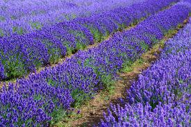 foto of lavender field  - Lavander fields in Heacham in Great Britain - JPG