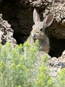 picture of rabbit hole  - rabbit peeking out of dark hole in side of hill - JPG