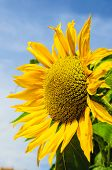 stock photo of sunflower  - sunflower against the blue sky yellow sunflower - JPG