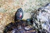 stock photo of ear  - One Pond Red eared slider turtle in pond - JPG