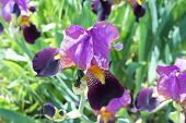 foto of purple iris  - the big beautiful flower of Purple Iris - JPG