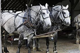 picture of dapple-grey  - Two dappled gray horses standing under a roof ready to pull a farmer - JPG