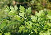 Curly-leaved Parsley
