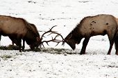 image of musky  - this is elk fighting and playing - JPG