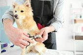 Cute dog Spitz at groomer salon poster