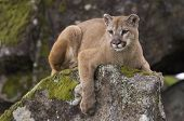 foto of cougar  - Mountain Lion on moss covered rocks during spring time - JPG