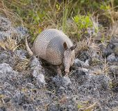 stock photo of armadillo  - Armadillo on sandy ground with impressions in ground from conical nose - JPG