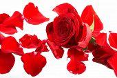 Pétalas de uma rosa, sobre fundo branco.