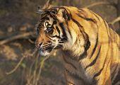 Tigre joven