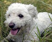 pic of cute dog  - bichon frise lying in grass looking cute - JPG