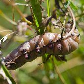 Big Brown Caterpillar