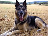 picture of shepherdess  - German shepherd dog - JPG