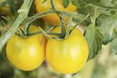 Tomatoes Grow On A Branch In The Garden, Growing Farm Organic Vegetables poster