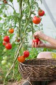 Womans Hands Harvesting Fresh Organic Tomatoes In Her Garden On A Sunny Day. Farmer Picking Tomatoe poster