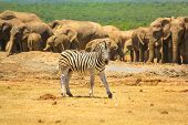 A Zebra On The Foreground And Group Of Numerous Elephants On The Background. Addo Elephant National  poster