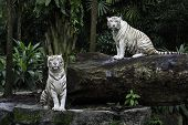 Постер, плакат: Two Tigers In A Jungle A Pair Of White Bengal Tigers Over Natural Background