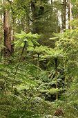 Rainforest Treeferns