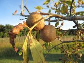 Buckeye or Horse Chesnut Tree Seed Pods in Fall