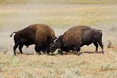 bisons in battle